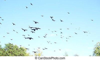 beau, pigeons, ciel, entourer, troupeau
