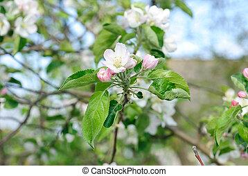 beau, pomme, nature, fleur, printemps, arbre