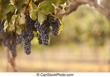 beau, raisin, soleil, luxuriant, matin, vignoble, brume