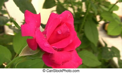 beau, rose, jardin, rose