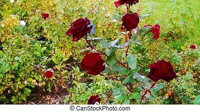 beau, rose, jardin, rouges, printemps