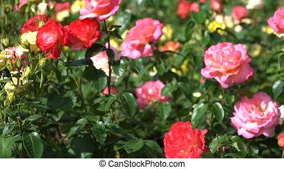 beau, roses, rose, parterre fleurs, rouges