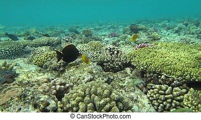 beau, sous-marin, coloré, exotique, corals., poissons