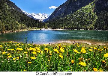 beau, stilluptal, tyrol., pré, pissenlit, fleurs, lac, autriche, montagnes., alpin