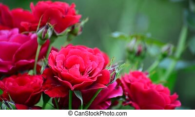 beau, très, clair, roses, buisson, rouges