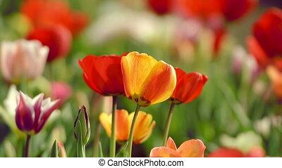 beau, tulipes, amst, champ
