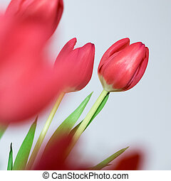 beau, tulipes, bouquet, printemps, arrière-plan., fleurs blanches