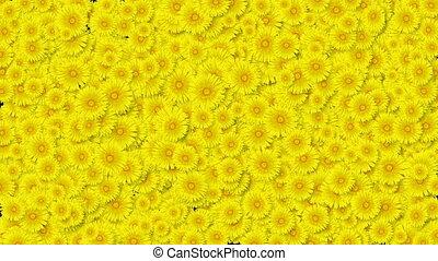 beau, utile, printemps, jaune, transitions., pissenlits, concept., matte., animation, 3840x2160, nouvelle vie, nature, screen., alpha, fleurs, hd, couverture, 4k, fleurir, croissant, ultra