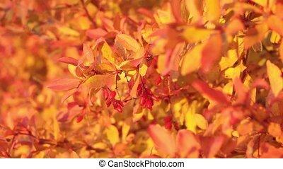 berberis, fond, mûre, branche, frais, naturel, sélectif, automne, vulgaris, foyer, baies, gros plan, rouges