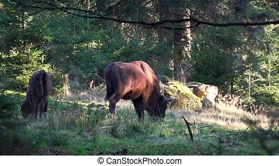 bison, forêt, européen