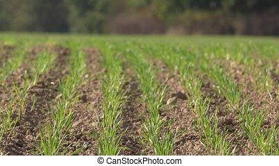 blé, automnal, vert, 4k, pousses, pousses, field.
