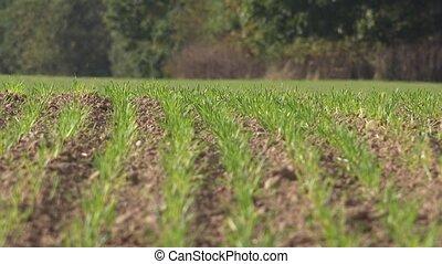 blé, printemps, vert, 4k, pousses, pousses, field.