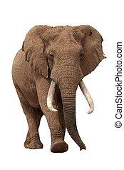 blanc, africaine, isolé, éléphant