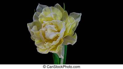 blanc, arrière-plan., timelapse, tulipe, noir, fleur fleurissant