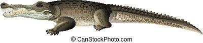 blanc, crocodile, une, arrière-plan gris