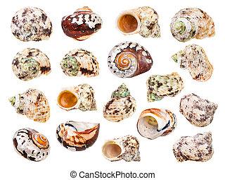 blanc, ensemble, coquille mer, isolé, mollusques