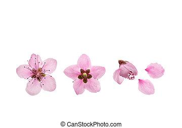 blanc, fleur, nectarine, fleurs, fond, arbre, isolé