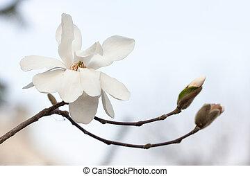 blanc, magnolia, branche