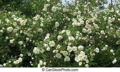 blanc, mouvement, sauvage, vent, 4k, roses, jardin, vidéo