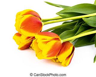 blanc, tulipes, fond
