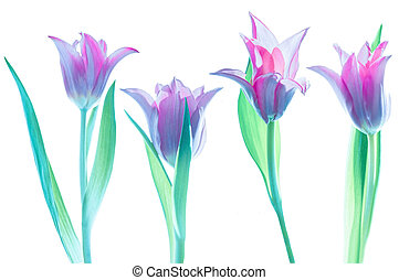 blanc, tulipes, fond, rose, isolé