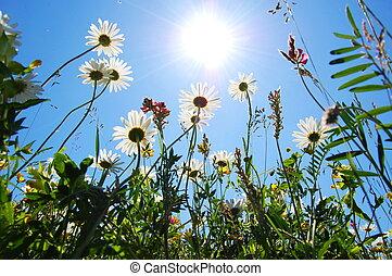 bleu, été, fleur, ciel, pâquerette