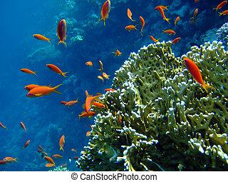 bleu, anthias, corail, scalefin