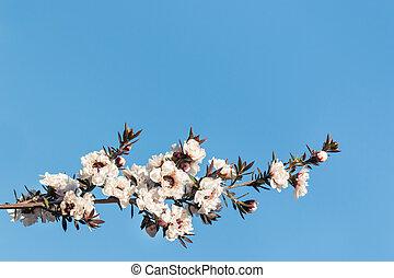 bleu, arbre, isolé, fond, fleurs blanches, fleur, manuka