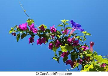 bleu, bougainvillea, ciel