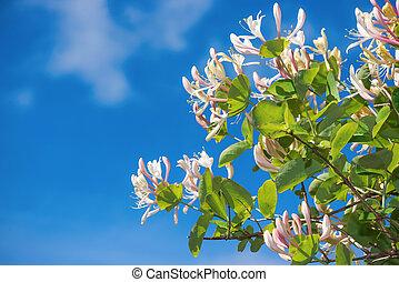 bleu, caprifolium, ciel, fond, lonicera, fleurs