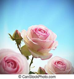 bleu, ciel rose, rose, arbre, haut, une, roses, rosier, fin, green., ou, bourgeon