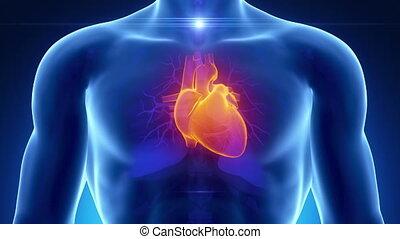 bleu, coeur, mâle, anatomie, balayage