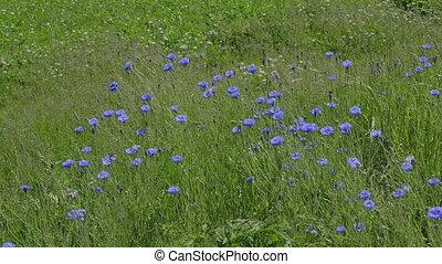 bleu, cornflower, printemps, haut, soleil., fin, fleurir