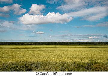 bleu, doré, champ blé, ciel