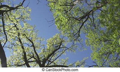 bleu, feuillage, fond, printemps, ciel, jeune, arbres, tôt, vert, contre, fond, vue