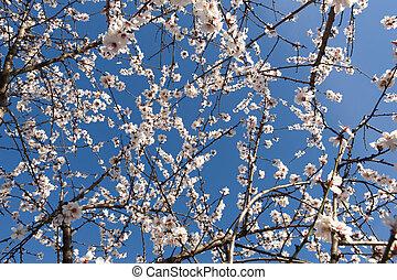 bleu fleurit, amandier, fond