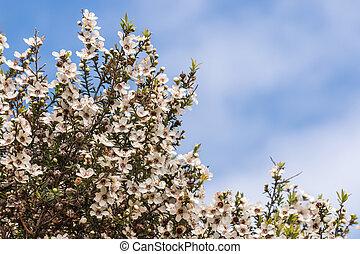 bleu fleurit, espace, ciel, arbre, contre, au-dessus, blanc, copie, manuka