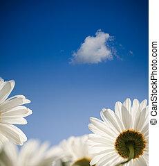 bleu, fleurs ressort, ciel, pâquerette
