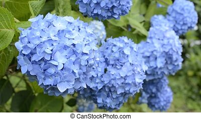 bleu, hortensia, chevaucher