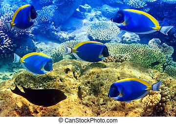 bleu, indien, maldives., saveur forte, océan, corals., poudre