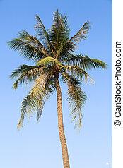 bleu, noix coco, ciel, arbre, clair, fond