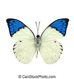 bleu, papillon, grand, pointe, isolé, blanc