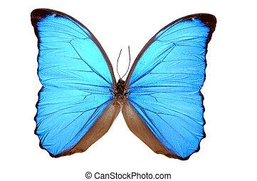 bleu, papillon, menelaus), iridescent, (morpho