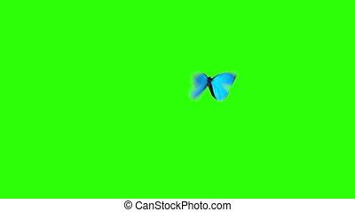 bleu, papillon, voler, menelaus, morpho