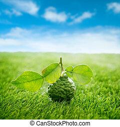 bleu, pelouse, organique, kaffir, ciel, vert, chaux