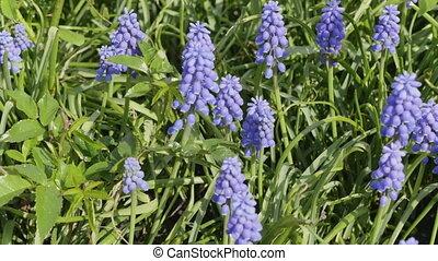 bleu, printemps, haut, soleil., lupines, fin, fleurir