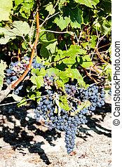bleu, raisin, aquitaine, france, bordeaux, région