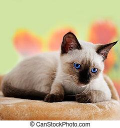 bleu, yeux clairs, chaton