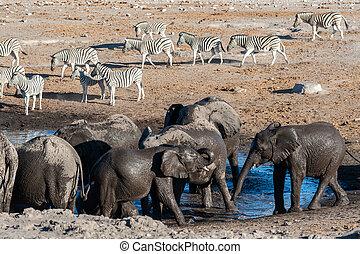 boire, troupeau, éléphants