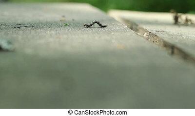 bois, cankerworm